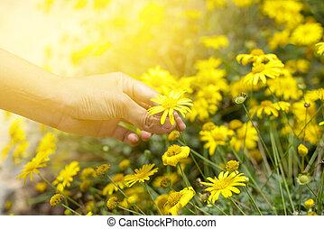 フルである, の上, 黄色, 手, 終わり, 盗品は 開花する, 花