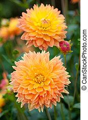 フルである, 庭, 黄色, オレンジ, ダリア, 花, 花