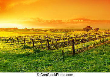 ブドウ園, 日の出