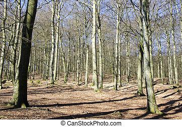 ブナ, 早く, 森林, 春