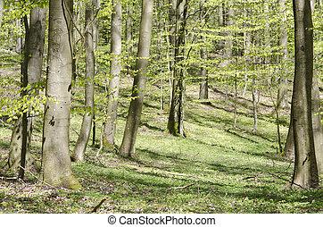 ブナ, 春, 明るい, 森林