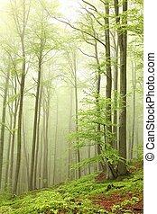 ブナ, 春, 霧, 森林