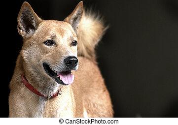 ブラウン, タイ人, 犬, 赤い衿
