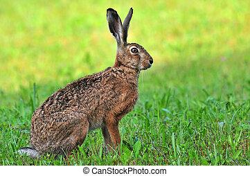 ブラウン, ノウサギ