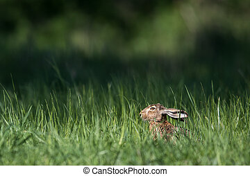 ブラウン, ノウサギ, europaeus), (lepus