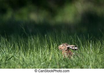 ブラウン, ノウサギ, (lepus, europaeus)