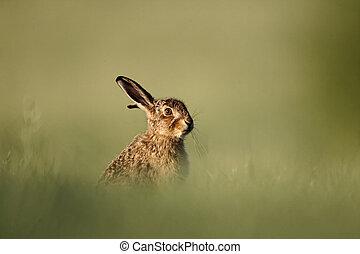 ブラウン, ノウサギ, lepus, europaeus