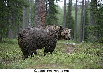 ブラウン, ヨーロッパ, arctos, ursus, 熊