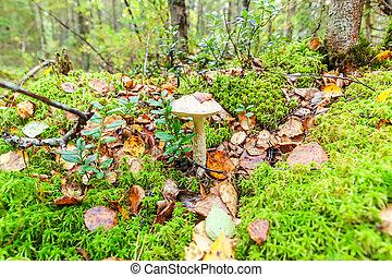 ブラウン, 帽子, 自然, 食用の きのこ, 環境, ペニー, の上, 秋, バックグラウンド。, ロールパン, 森林, こけ, 終わり, leccinum, 小さい, 菌類