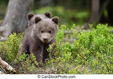 ブラウン, 幼獣, 熊