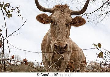 ブラウン, 概念, spring., 牧草地, 牛, 数, ∥そ∥, クローズアップ, 牛, 繁殖, 耳, 牧草, 農業