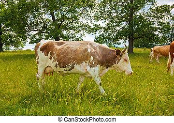 ブラウン, 歩くこと, 牛, フィールド