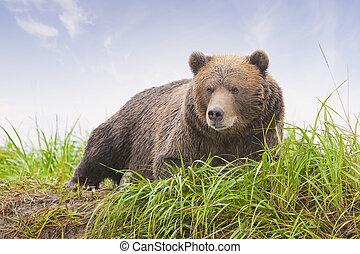 ブラウン, 沿岸である, 熊