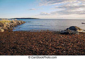 ブラウン, 湾, laminaria, 海, 白, ロシア