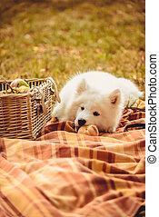 ブラウン, 食べること, 桃, 平野, samoyed, バスケット, ピクニック, 子犬