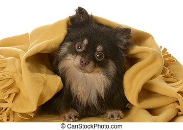 ブラウン, pomeranian, 毛布, 黄色, 下に, tan, 子犬, 隠ぺい