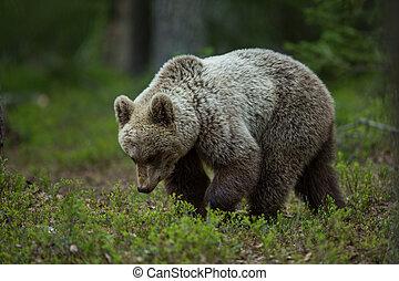 ブラウン, tiaga, 森林, 熊