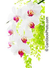ブランチ, シダ, 葉, 隔離された, 背景, 咲く, 白い赤, 蘭