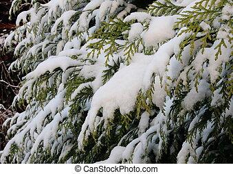 ブランチ, 常緑樹, 雪, 冬, カバーされた, thuja