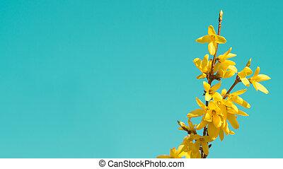 ブランチ, 春, forsythia, 木, 黄色の背景, 咲く, 花