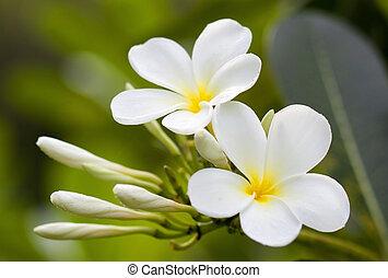 ブランチ, 熱帯の花, frangipani, (plumeria)