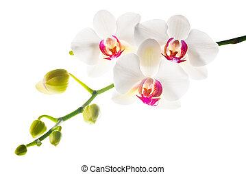 ブランチ, 隔離された, 背景, 咲く, 白い赤, 蘭