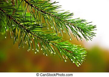 ブランチ, fur-tree, 雨, とげだらけである, 緑, 松, 低下, ∥あるいは∥
