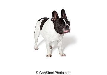 ブルドッグ, ブラウン, 白, 子犬, フランス語