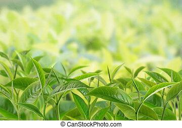 プランテーション, お茶, 葉, 日光, ビーム