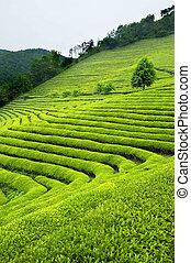 プランテーション, お茶, 韓国, 緑, 南