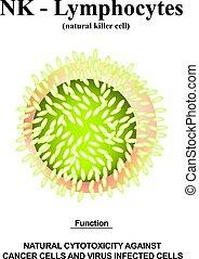 ヘルパー, structure., lymphocytes., 隔離された, ベクトル, infographics., リンパ球, cells., nk, イラスト, バックグラウンド。, immunity, 機能