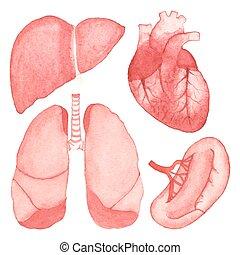 ベクトル, セット, illustration., 水彩画, 背景, 人間, aquarelle., 白, 器官, 内部