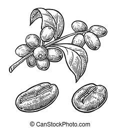 ベクトル, 手, 豆, 背景, 引かれる, 白, berry., コーヒー, 葉, 彫版, ブランチ, 型, イラスト