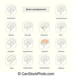 ベクトル, 脳, イラスト, コンポーネント, セット