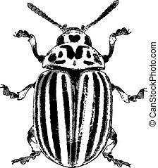 ベクトル, -, colorado, イラスト, かぶと虫