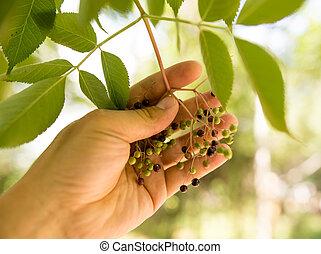 ベリー, 手, 木, 自然