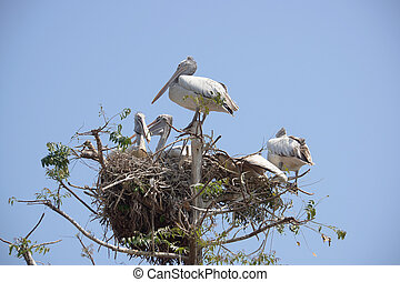 ペリカン, 木。, グループ, 鳥