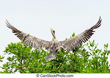 ペリカン, 鶏, 飛行, 鳥, 最初に