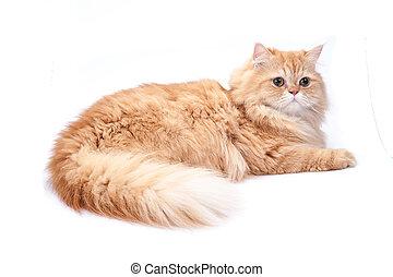 ペルシャ猫, 上に, a, 白, バックグラウンド。
