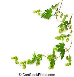 ホツプ, 植物, twined, つる