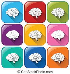 ボタン, 脳, 器官