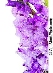 ボーダー, の, グラジオラス, 花