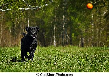 ボール, ラブラドル, 品種, 犬, 黒, 遊び