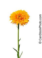 ポットマリーゴールド, officinalis), (calendula