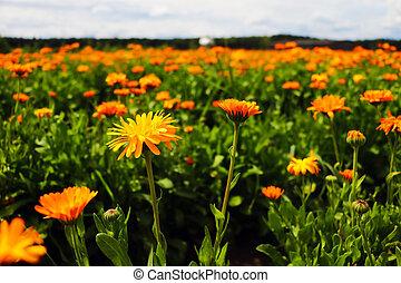 ポット, field., officinalis, marigold., オレンジ, calendula