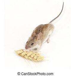 マウス, 白, 小麦, 食べる, 背景