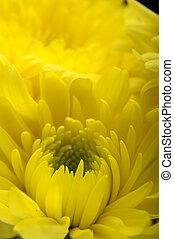 マクロ, 花, アスター, 黄色