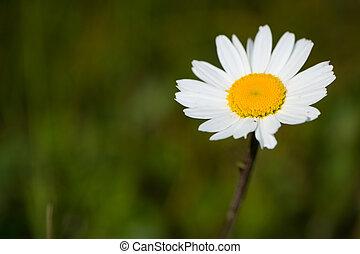 マクロ, 花, マーガレット