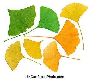 マクロ, 葉, 隔離された, herbarium, ginkgo biloba, 白
