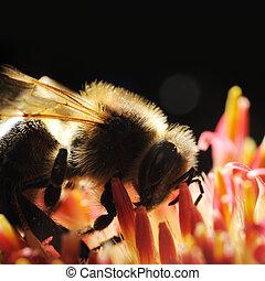 マクロ, 蜂